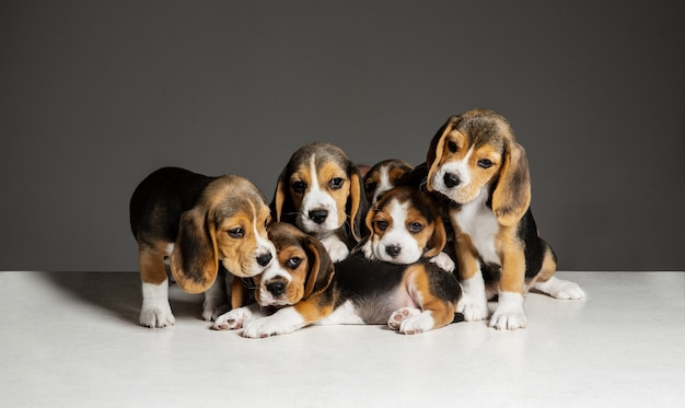 Beagle tricolor puppies are posing. cute white-braun-black doggies or pets playing on grey wall. look attented and playful.concept of motion, movement, action. negative space.