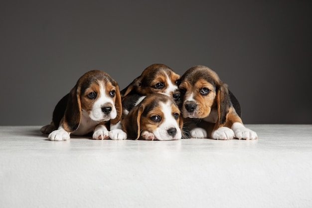 Beagle tricolor puppies are posing. cute white-braun-black doggies or pets playing on grey wall. look attented and playful. concept of motion, movement, action. negative space.