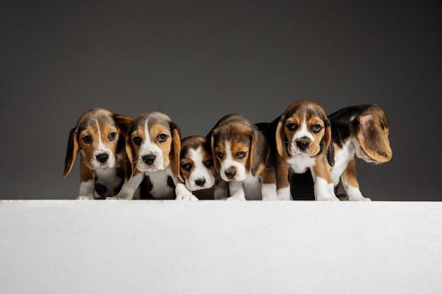 비글 3 색 강아지가 포즈를 취하고 있습니다. 귀여운 흰색-갈색-검은 색 강아지 또는 회색 배경에 재생하는 애완 동물. 주의를 기울이고 장난스러워 보입니다.