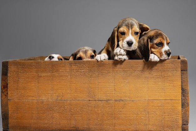 비글 3 색 강아지는 나무 상자에서 포즈를 취하고 있습니다. 회색 벽에 귀여운 강아지 또는 애완 동물. 주의를 기울이고 장난스러워 보이며 동작, 움직임, 행동의 개념입니다. 부정적인 공간.