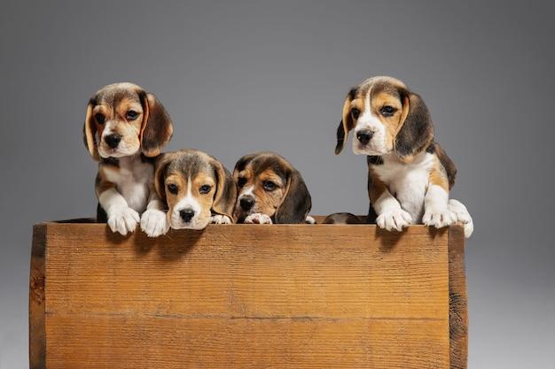 ビーグル犬のトリコロールの子犬が木製の箱でポーズをとっています。灰色の壁で遊ぶかわいい犬やペット。注意深く遊び心のある顔をしてください。動き、動き、行動の概念。ネガティブスペース。