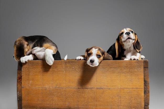Щенки трехцветного бигля позируют в деревянной коробке. симпатичные собачки или домашние животные, играющие на серой стене. выгляди внимательным и игривым. понятие движения, движения, действия. негативное пространство.