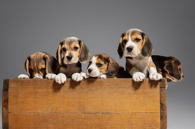 비글 3 색 강아지는 나무 상자에서 포즈를 취하고 있습니다. 회색 벽에 귀여운 강아지 또는 애완 동물. 주의를 기울이고 장난스러워 보입니다. 움직임, 움직임, 행동의 개념. 부정적인 공간.