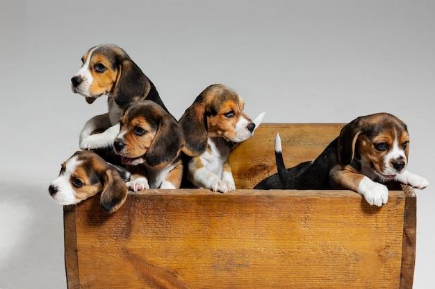 비글 3 색 강아지는 나무 상자에서 포즈를 취하고 있습니다. 흰 벽에 귀여운 강아지 또는 애완 동물. 주의를 기울이고 장난스러워 보이며 동작, 움직임, 행동의 개념입니다. 부정적인 공간.
