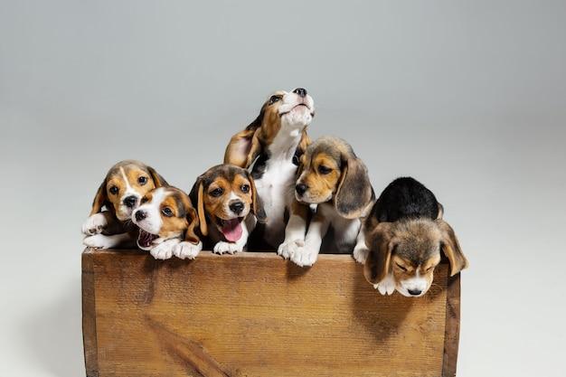 비글 3 색 강아지는 나무 상자에서 포즈를 취하고 있습니다. 흰 벽에 귀여운 강아지 또는 애완 동물. 주의를 기울이고 장난스러워 보입니다. 움직임, 움직임, 행동의 개념. 부정적인 공간.