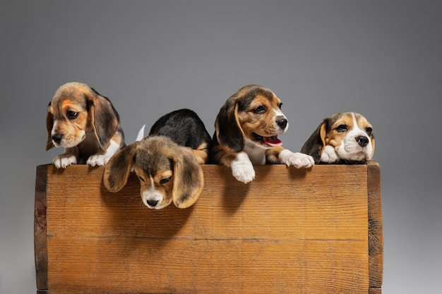 Beagle tricolor puppies are posing in wooden box. cute doggies or pets playing on grey wall. look attented and playful.  concept of motion, movement, action. negative space.