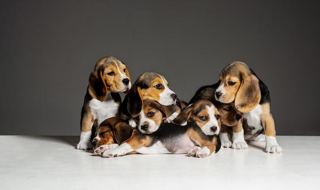 비글 삼색 강아지들이 포즈를 취하고 있다