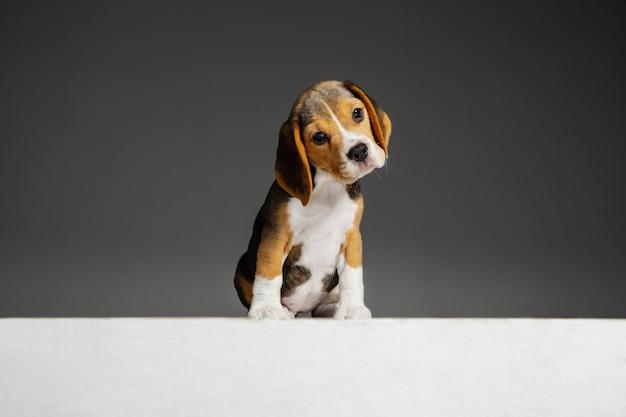 ビーグルトリコロールの子犬がポーズをとっています。かわいい白ブラウン黒の犬やペットが灰色の背景で遊んでいます。
