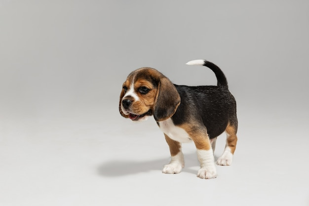 Beagle tricolor puppy is posing. cute white-braun-black doggy or pet is playing on white wall. looks attented and playful. concept of motion, movement, action. negative space.