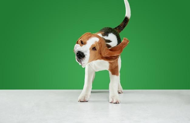 ビーグルトリコロールの子犬がポーズをとっています