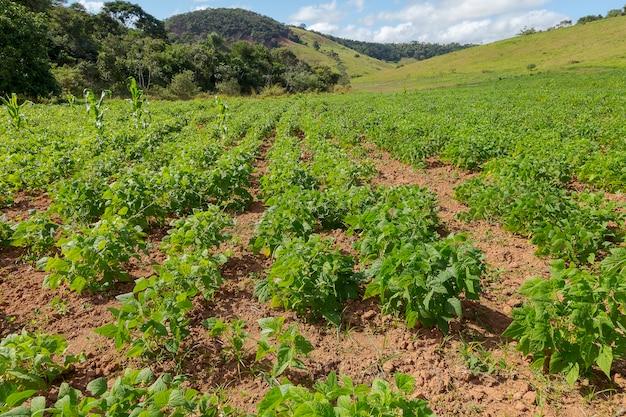 グアラニーの小さな田舎の土地での豆の収穫