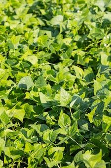 Beans growing in garden. homegrown organic food, beans ripening in garden. rural landscape with fresh green soy field. soybean field