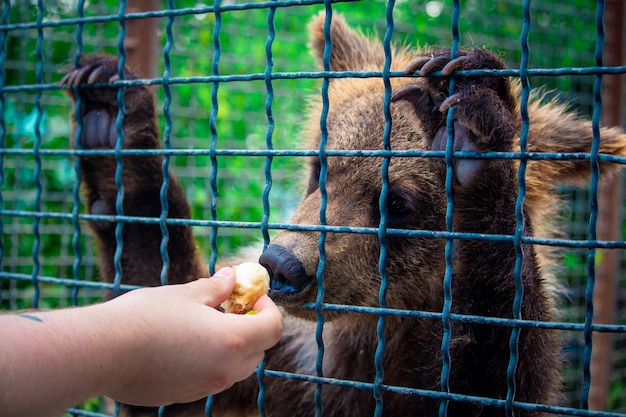 The bear cub eats a banana