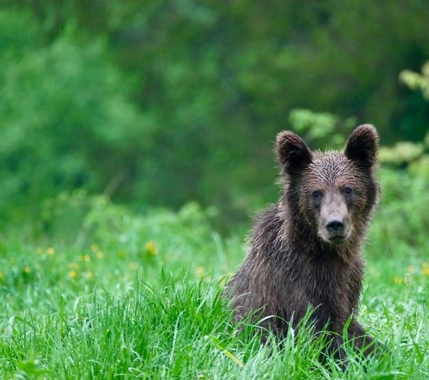 Медведь в карпатах - польша