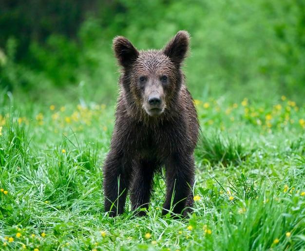 Медведь в карпатах