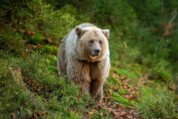 黄色い森のクマ。クマと秋の木々、ウルサスアークトス、秋の色