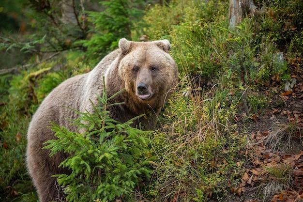 黄色い森のクマ。クマと秋の木、ursus arctos