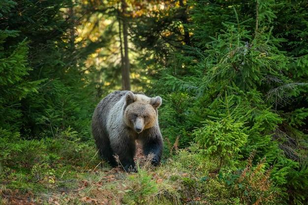 黄色い森のクマ。クマと秋の木