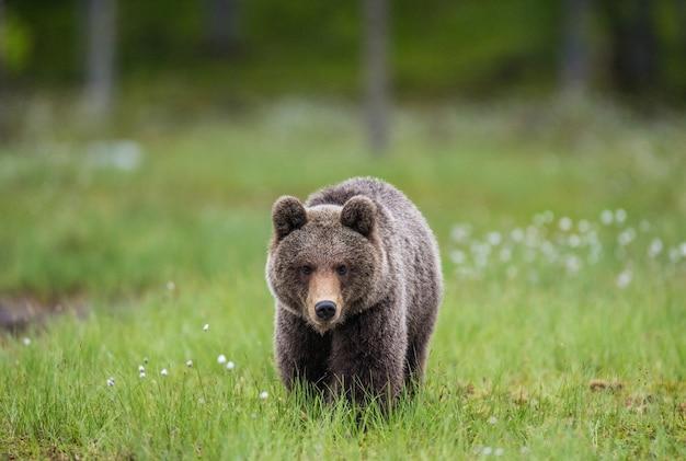 Медведь идет прямо к фотографу