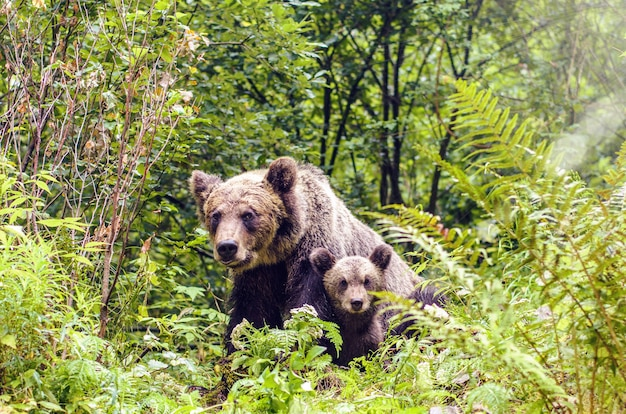 Bear sow and cub in fagaras mountains