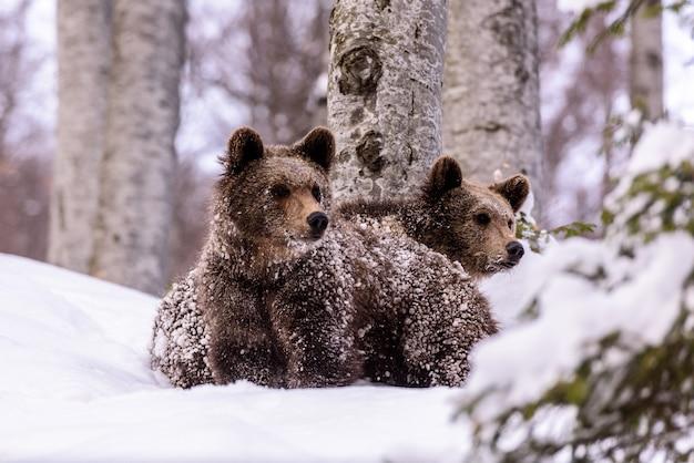 Bear in winter time.