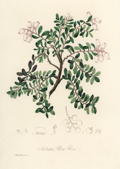 Черника (arbutus uva ursi) иллюстрация из медицинской ботаники (1836)