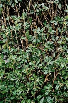 녹색 잎 근접 촬영으로 bearberry twining 부시