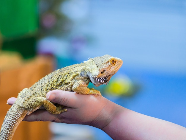 Bearded agama sits on the buyer's hand at the pet store. the selection of a new pet.