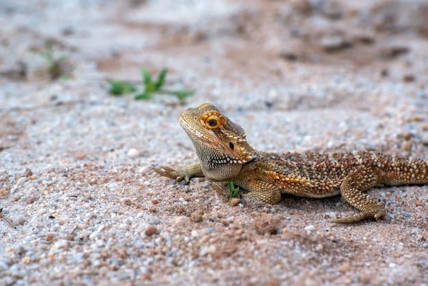 Бородатый дракон на песке