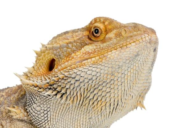 Бородатый дракон