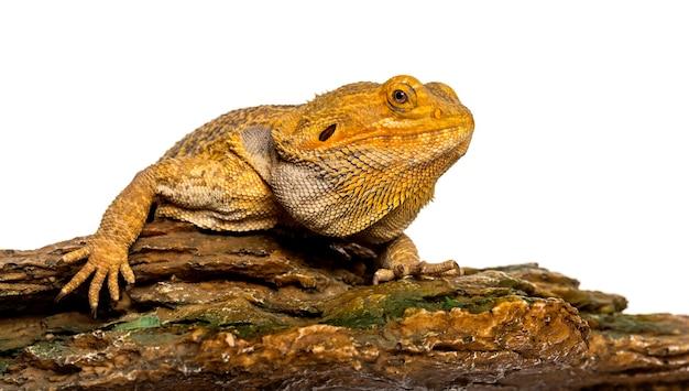 Бородатый дракон, лежащий на скале перед белой поверхностью