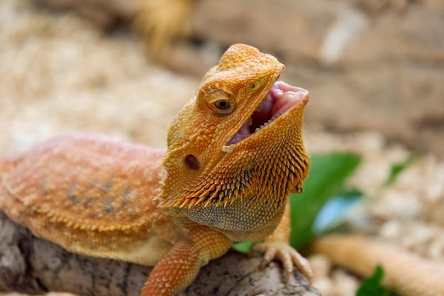 Bearded dragon (pogona vitticeps) is australian lizard close up