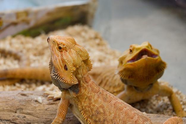 Бородатый дракон (pogona vitticeps) - австралийская ящерица крупным планом