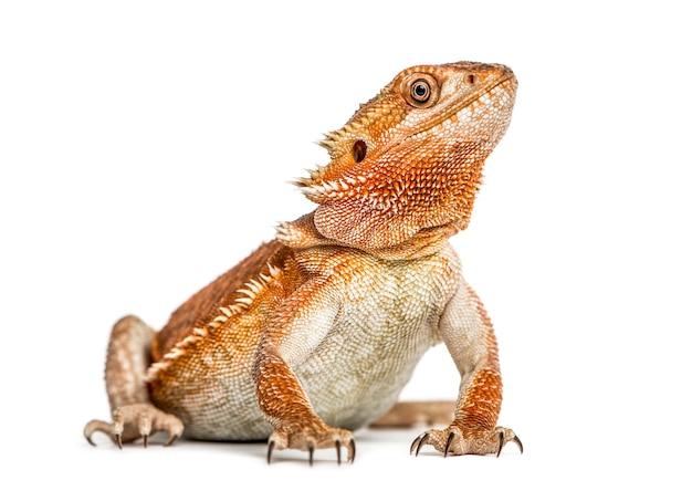 白い背景で隔離のひげを生やしたドラゴン(pogonavitticeps)