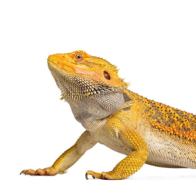 Бородатый дракон погона