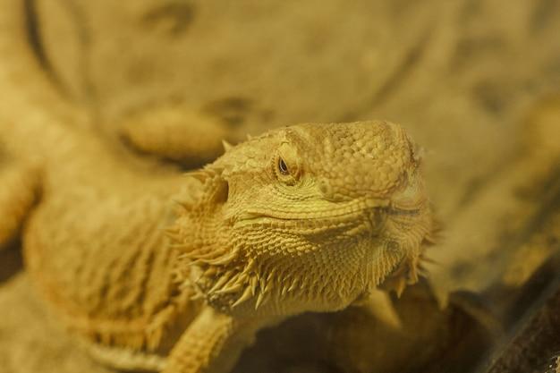 Bearded dragon when defending or breeding time