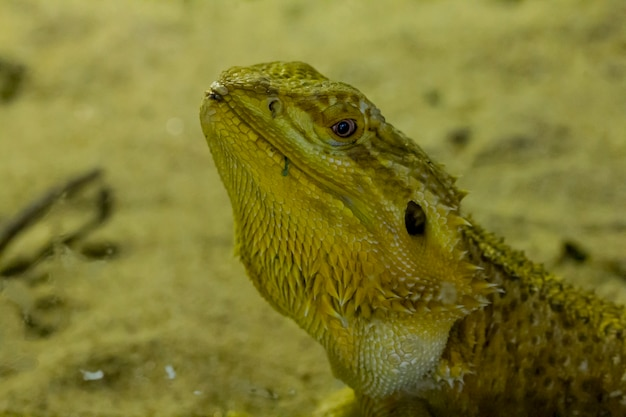 Bearded dragon in the zoo