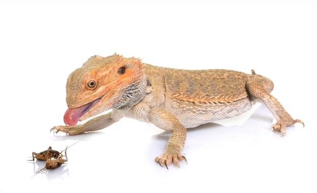 クリケットを食べるひげを生やしたドラゴン