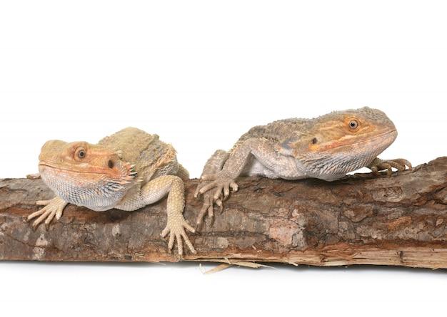 Бородатые драконы на белой стене