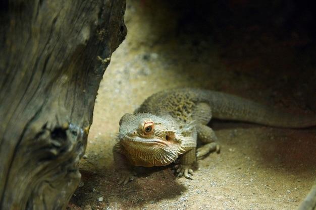 A bearded lizard sits near a tree trunk