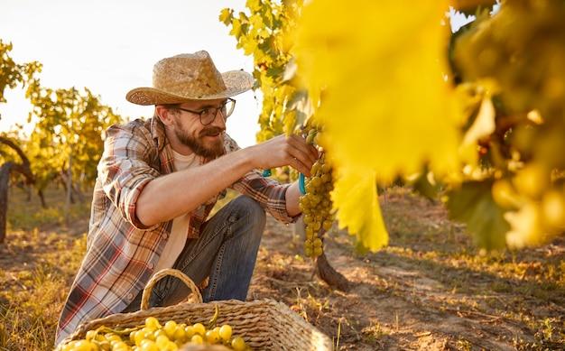 Bearded man harvesting grapes on farm