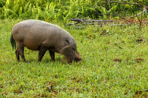 Bearded pig digs the earth