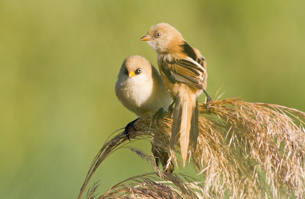 Bearded reedling panurus biarmicus two young males sit on the top of the reed