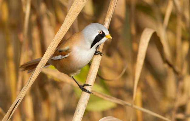 Bearded reedling sits on a cane stalk on the river bank