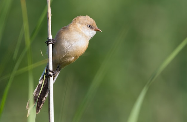 Bearded reedling sits on a cane stalk