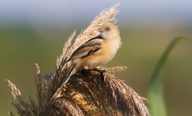 Bearded reedling sits on the fluffy top of the reed