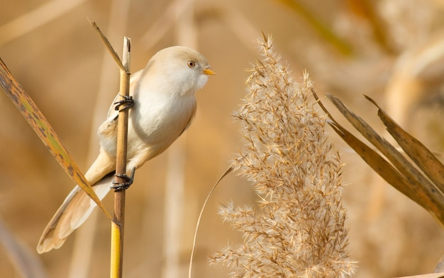 Bearded reedling sits on a reed