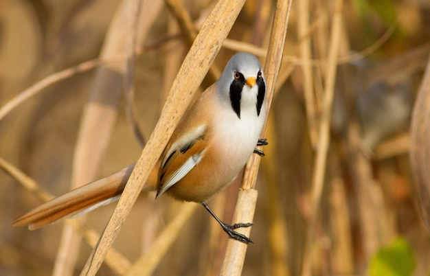 Bearded reedling sits on the stem and looks towards the camera