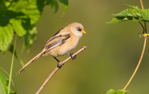 Bearded reedling sits on a thin branch on a green background