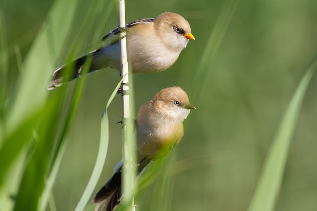 Bearded reedling young male and female sit in the reed on the river bank